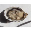 Huître à L'Ancienne ( Pouce ) / 50 huîtres N°3